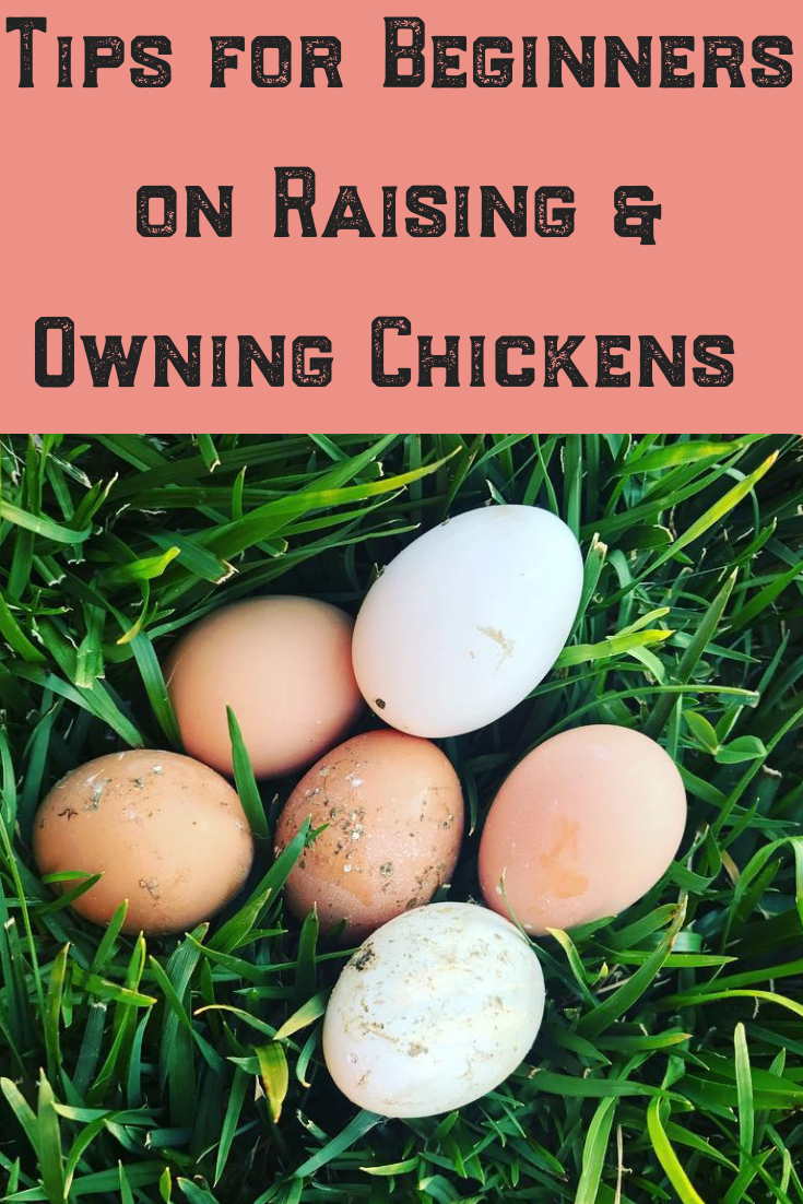 Raising and owning backyard chickens can be one of the best and most rewarding experiences of homesteading. Feathery friends, fresh eggs and fun! Follow the tips and ideas in my article before you begin and you will be an expert with happy mother clucking hens in no time! #chickens #backyard #beginners #raising #owning #homestead #eggs #hens #ideas #tips #diy