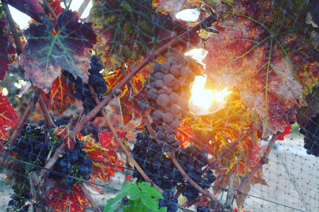 Grape Vines in the Sunset
