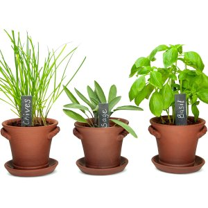 Basil Rosemary Chives Dill Oregano as indoor house plants