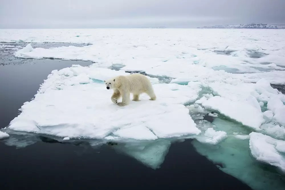 Polar bear in the landscape walking on pack ice