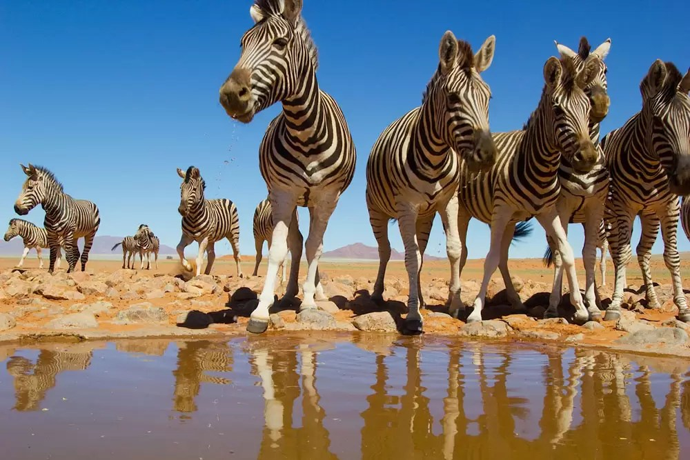 Zebras at water hole