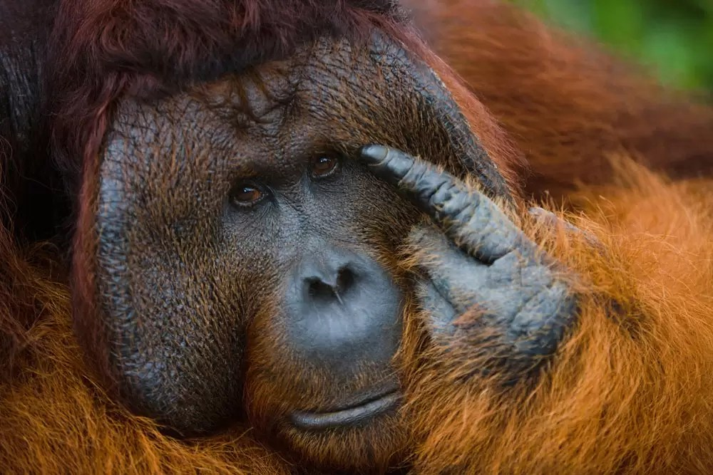 A dominant male orangutan portrait in a thinking pose