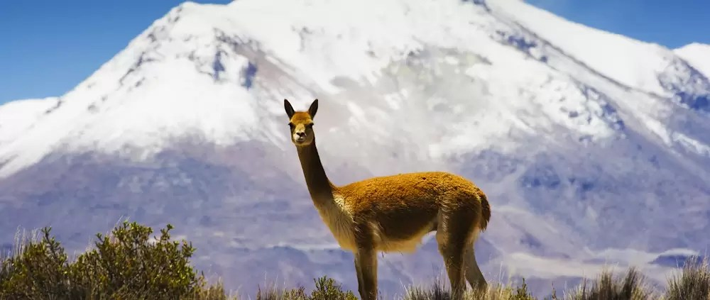A male guanaco in front of a snowy peak