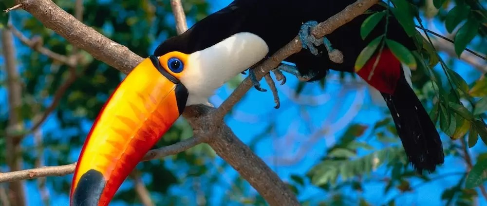 Toco Toucan Perched in a Tree