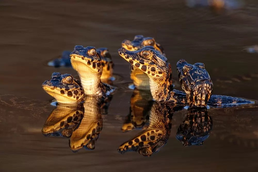 Young Caimans in Water