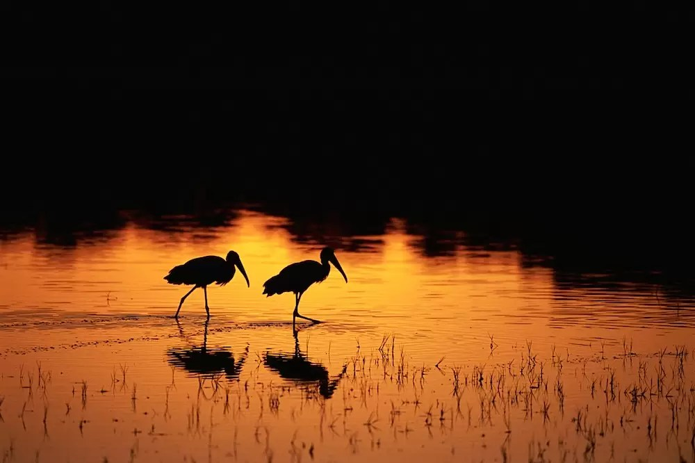 Wood Storks Walking Through Lake at Sunset