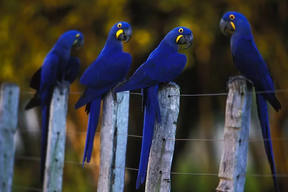 Hyacinth macaws (Anodorhynchus hyacinthinus) on farm fence