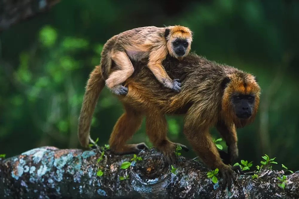 Female black howler monkey with baby on its back (Alouatta caraya)