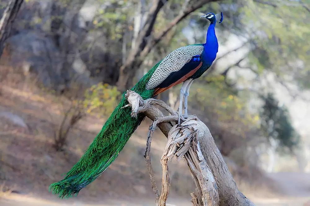 male Peacock in mating plumage