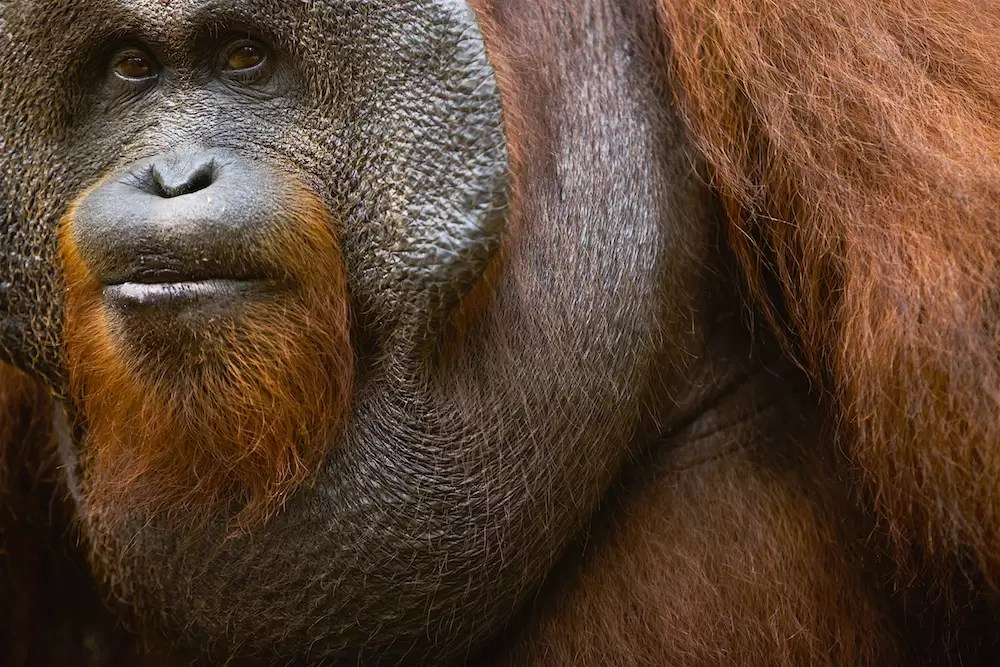 A dominant male orangutan portrait