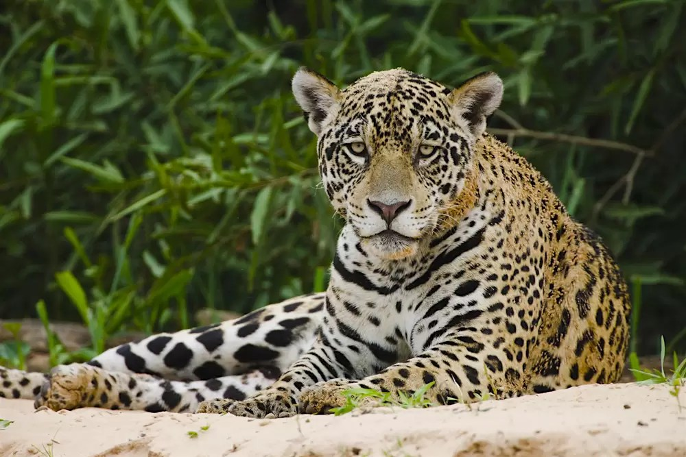 A jaguar rests on a sand bank