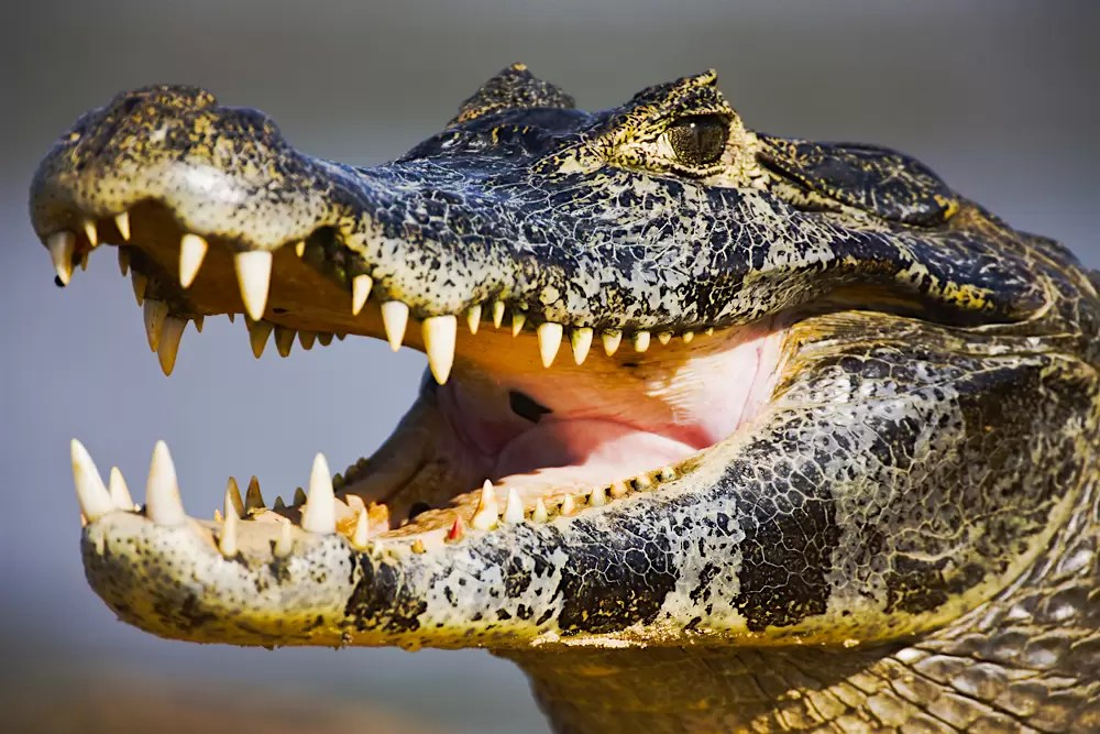 While sunning itself, a caiman with open mouth exposes teeth on the sand bank of the Cuiaba River
