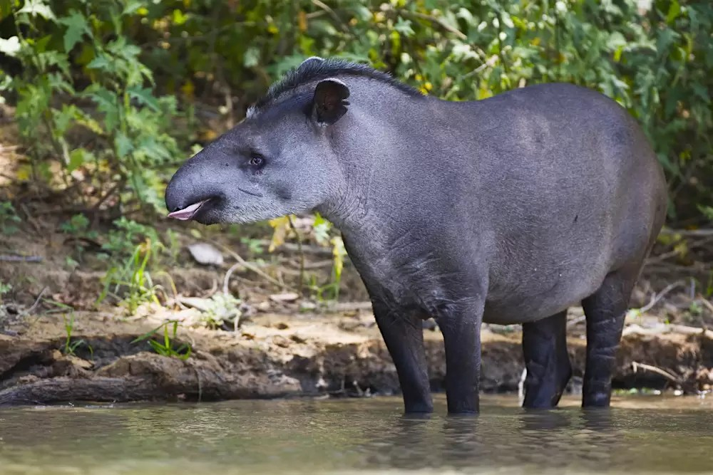 A tapir walking along the river shore