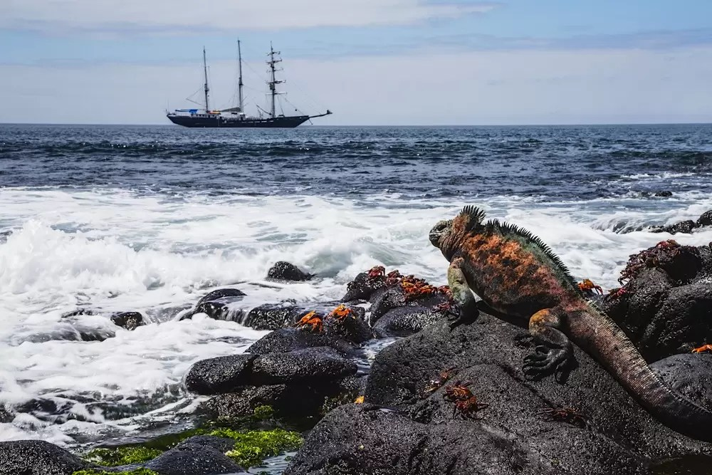 A marine Iguana sitting on rocks overlooking a ship in the ocean