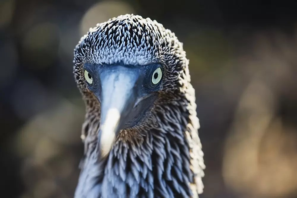 Head of a blue-footed booby