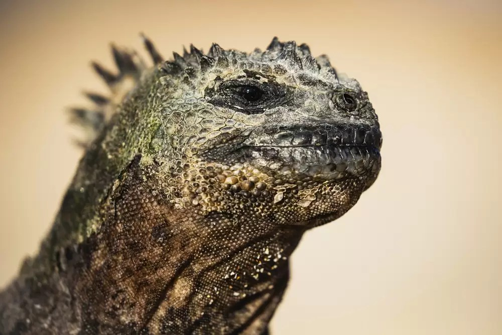A marine iguana in the sun