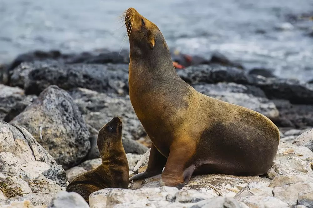 A mother sea lion and pup