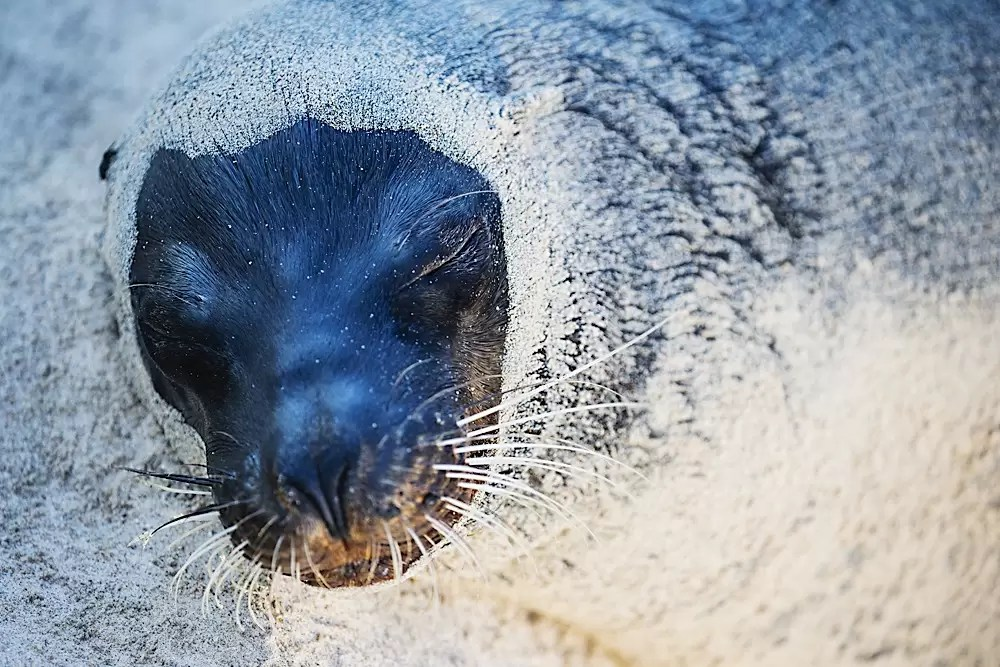 A Galapagos sea lion on the beach encrusted in sand
