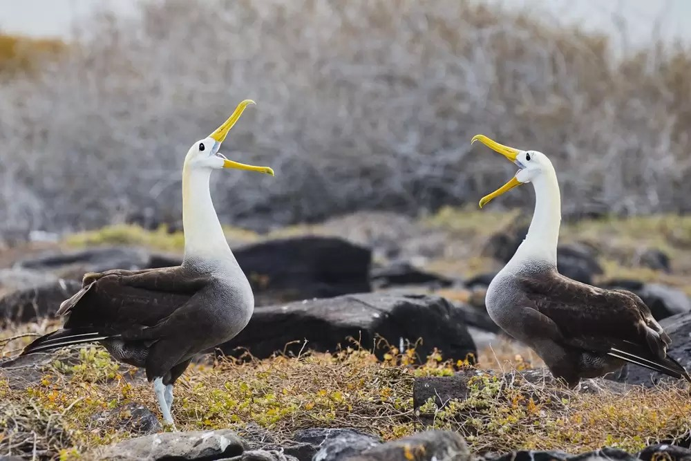 Courtship behavior of Waved Albatross