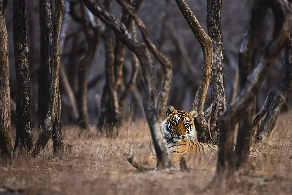 Obscured by the trees of the forest, a tigress looks out
