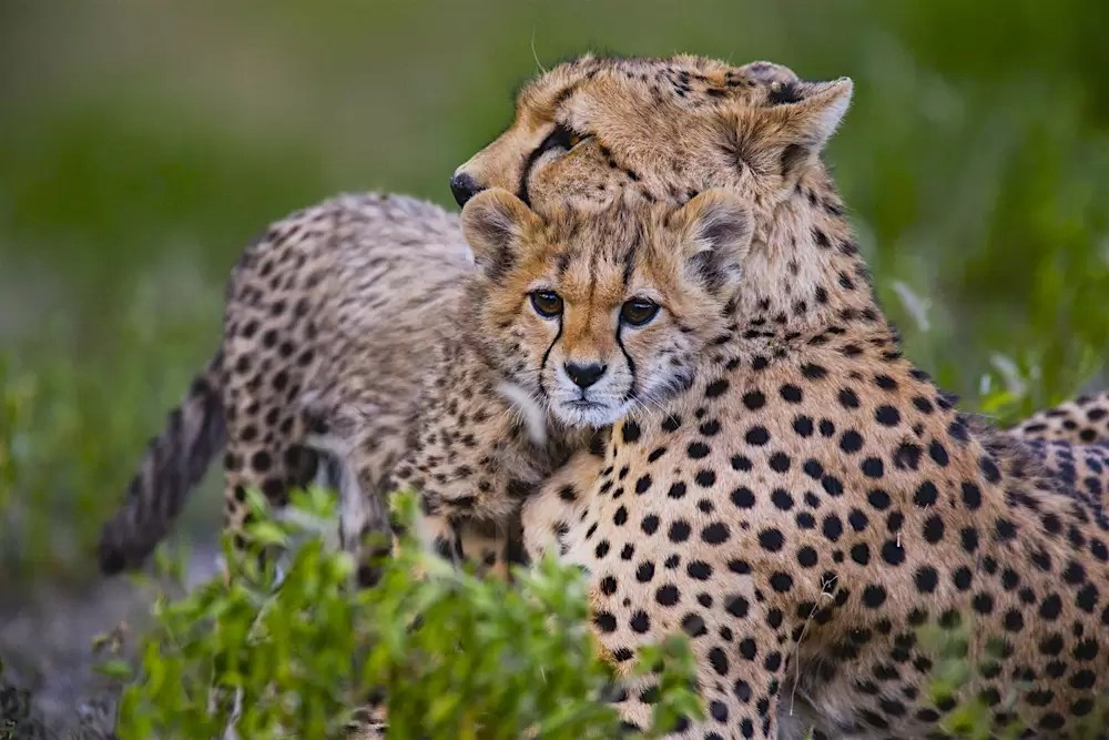 A small cheetah cub nuzzling with its mother