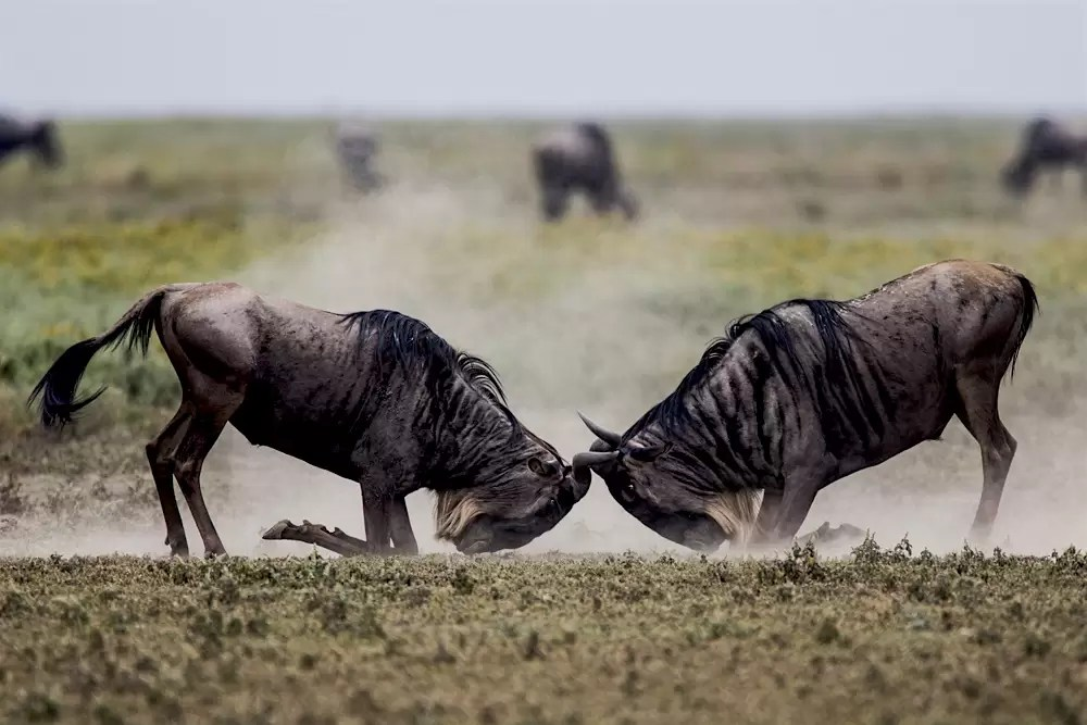 Two male wildebeests fighting