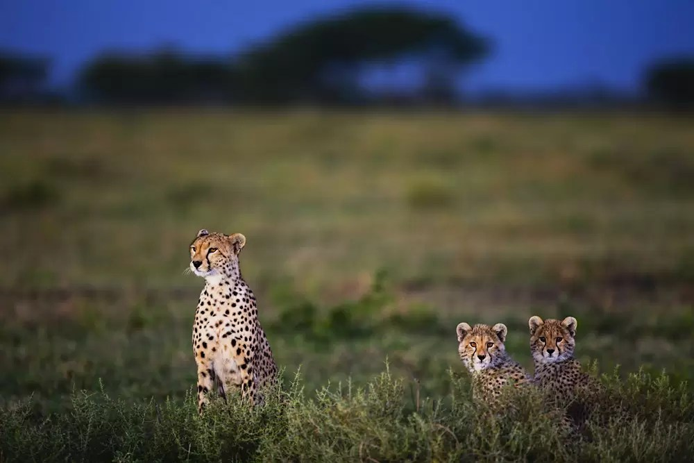 A very alert female cheetah portrait with two cubs