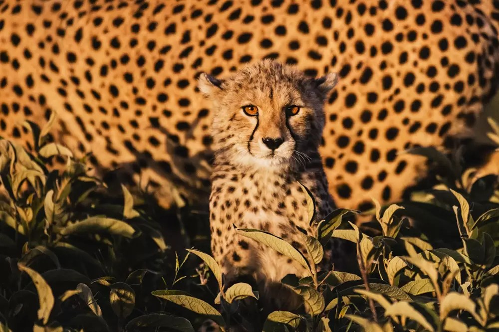 A staring cheetah cub sitting in vegetation with its mother just behind