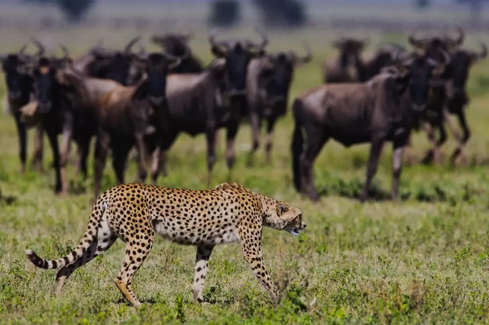 A hunting cheetah walking past a herd of alerted wildebeest