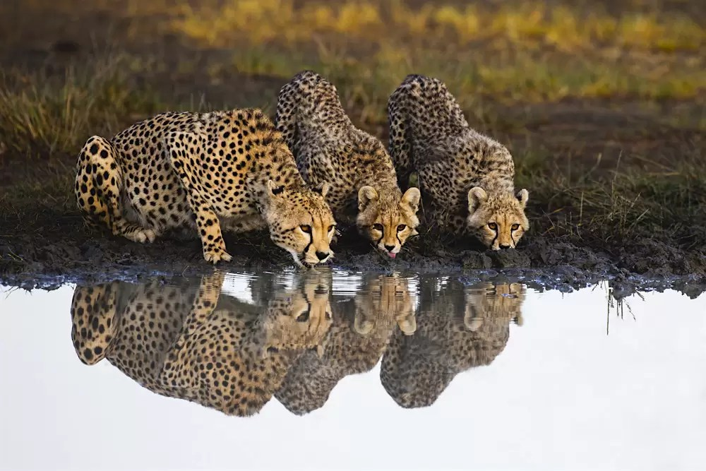 A cheetah and her cubs reflected while drinking from a water hole