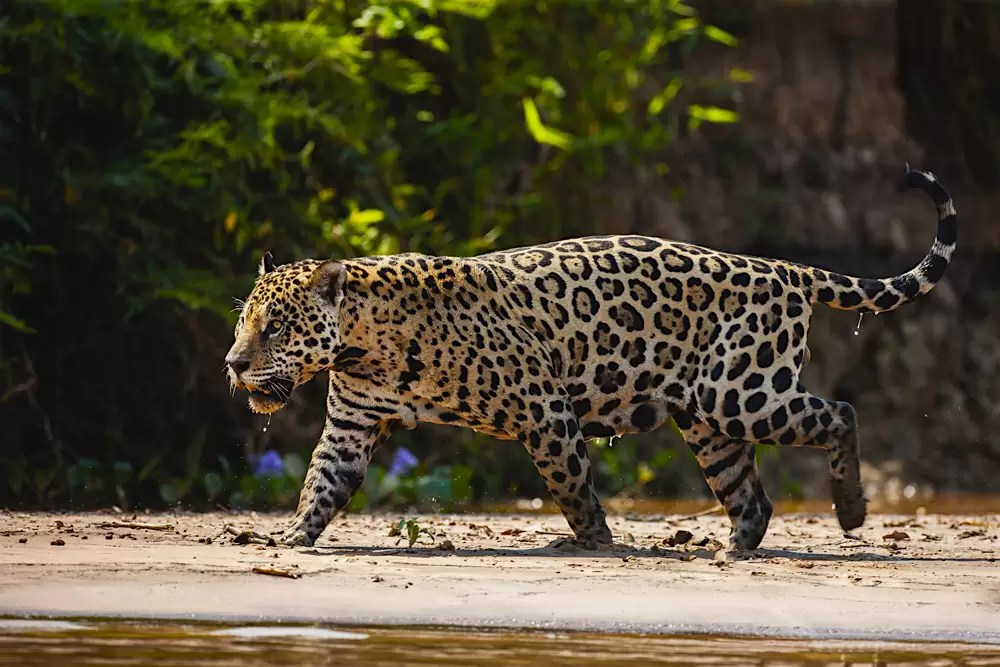 A wild jaguar in the Pantanal walking on a river bank, dripping wet