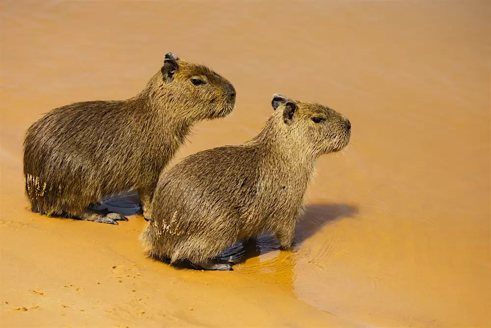 Two young capybaras sitting on a sandy river bank