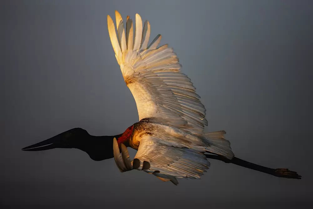A jabiru stork in flight
