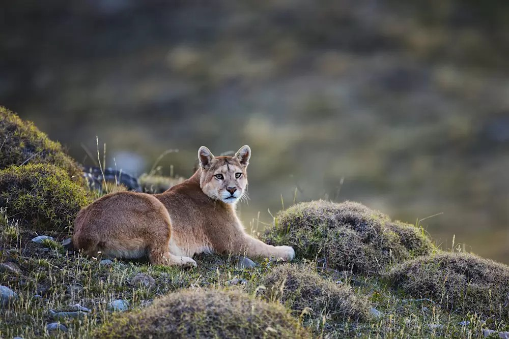 A puma laying in tuft grass