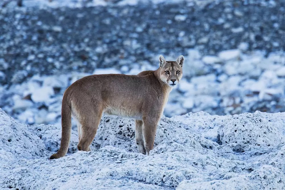 A puma standing and watching from above on a granite rock