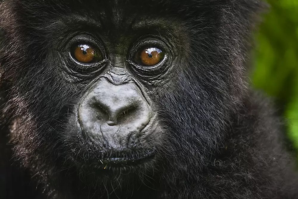 Portrait of a young mountain gorilla baby