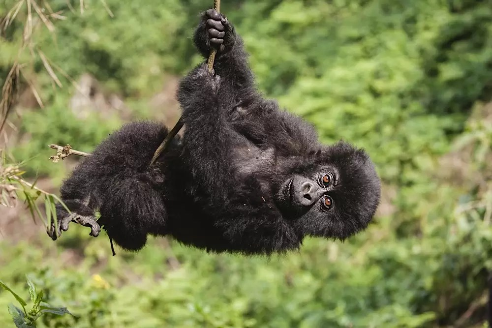 A young mountain gorilla baby swinging froma vine