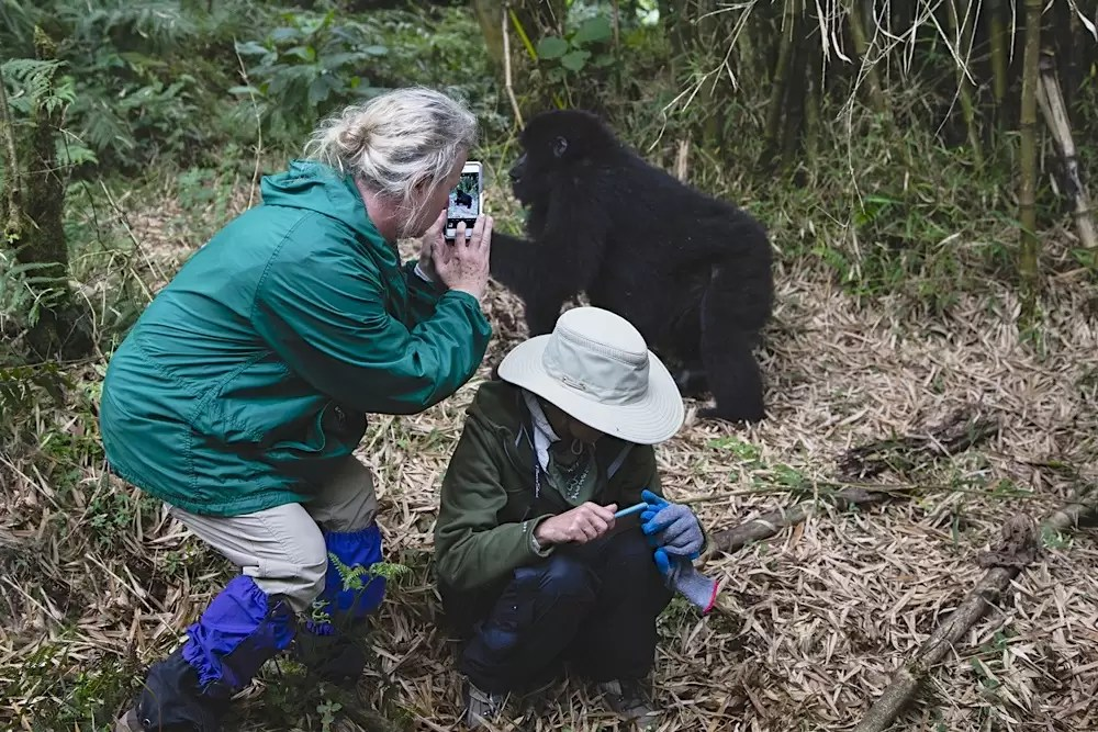 Two tourists having a close encounter with a mountain gorilla and taking photos with their iPhones
