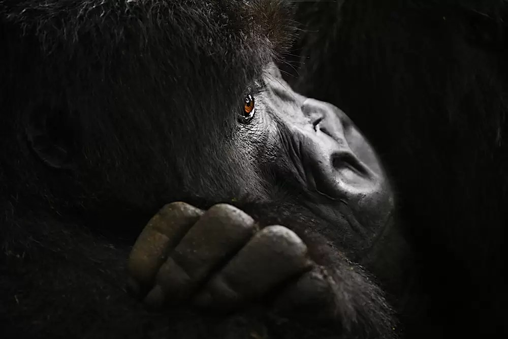 Profile of a young mountain gorilla