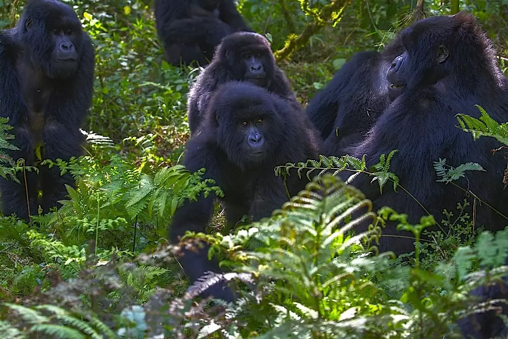 A group of black back and juvenile mountain gorillas sitting in the forest
