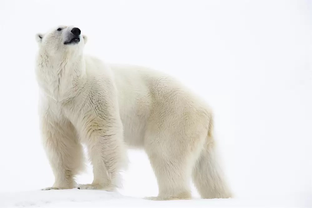 Polar bear standing, portrait in the snow