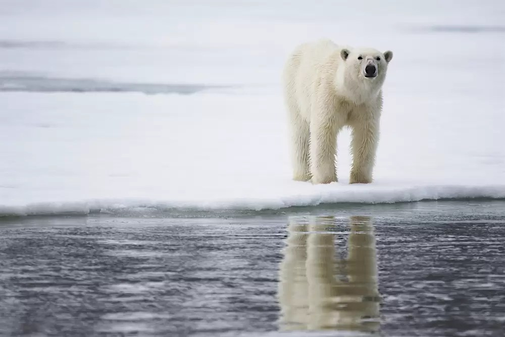 A polar bear on a winter day walking on the ice and reflected on water