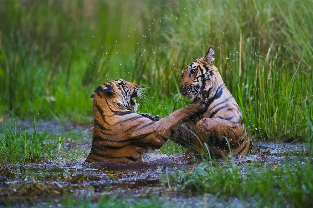 16 months old Bengal tiger cubs playing in water