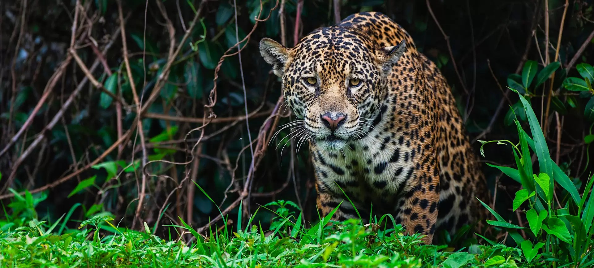 A wild jaguar hunting in the Pantanal appears out of thick vegetation