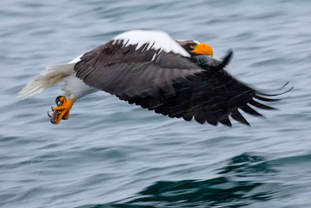 Steller sea eagle flying holding fish in claws; northern Hokkaido