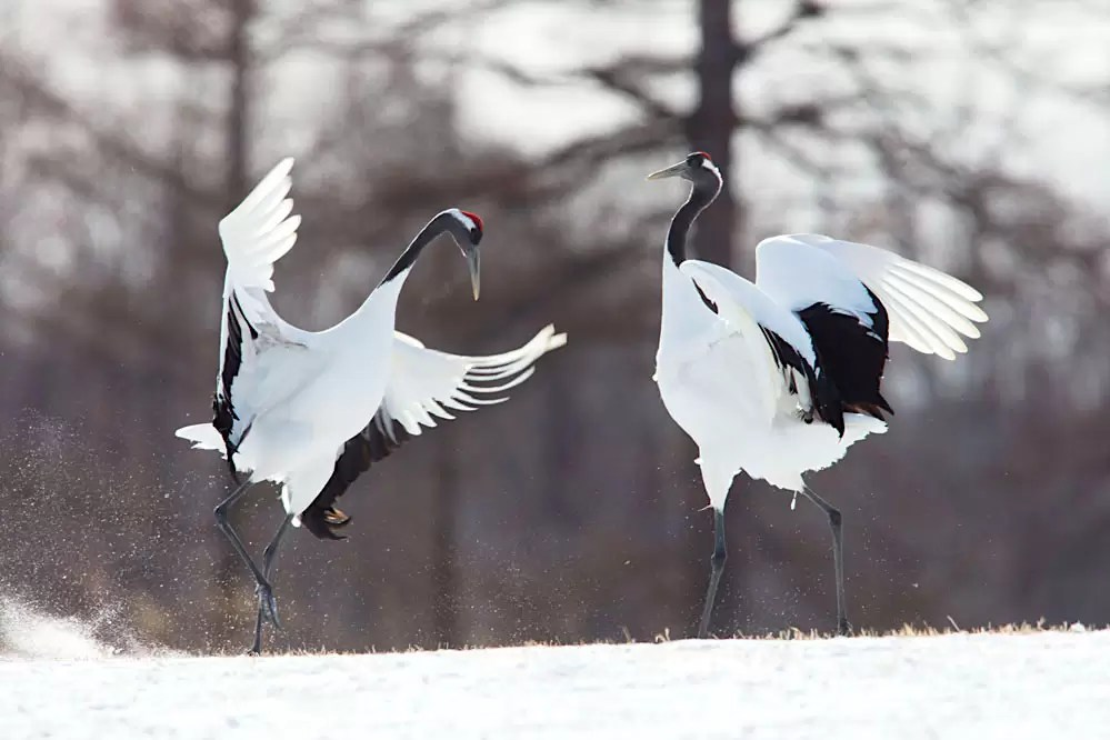 Red-crowned cranes dancing in northern Hokkaido