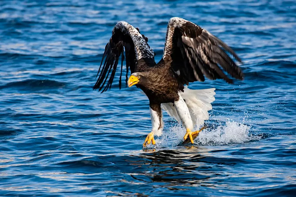Steller sea eagle catching fish in ocean; northern Hokkaido