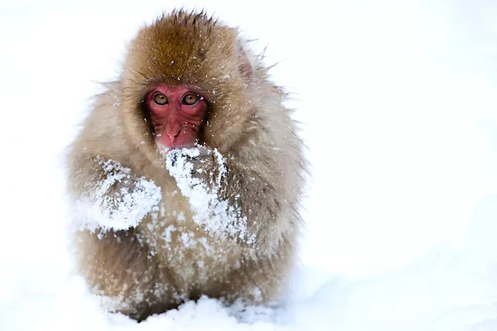 Young snow monkey in snow; Japanese Alps