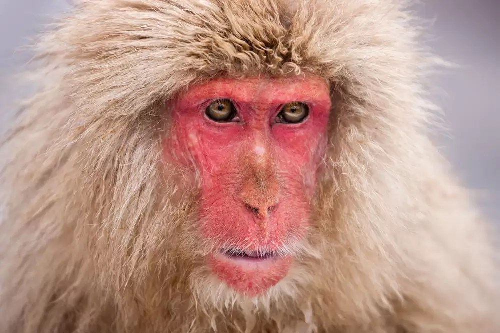 Snow monkey; Japanese Alps