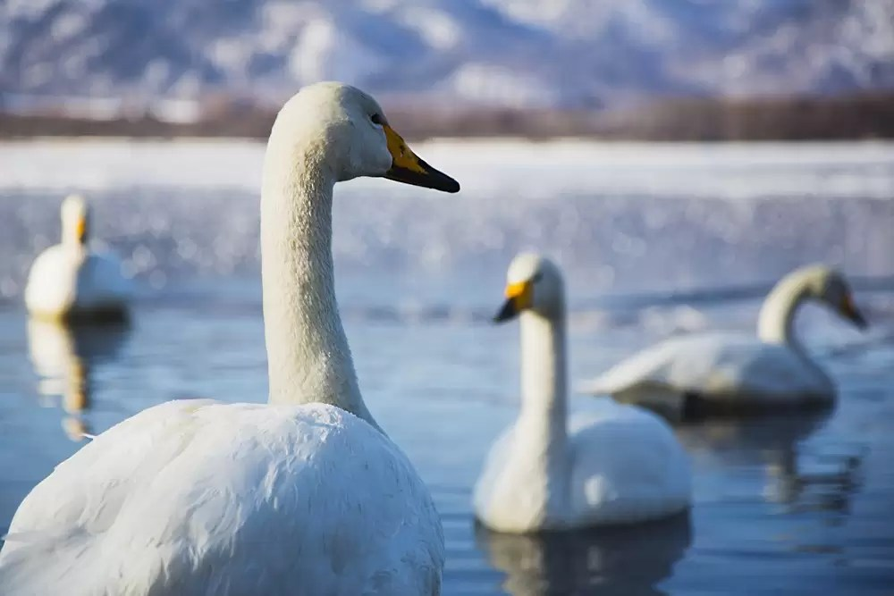 Whooper swans swimming in Lake Kussharo, Japan